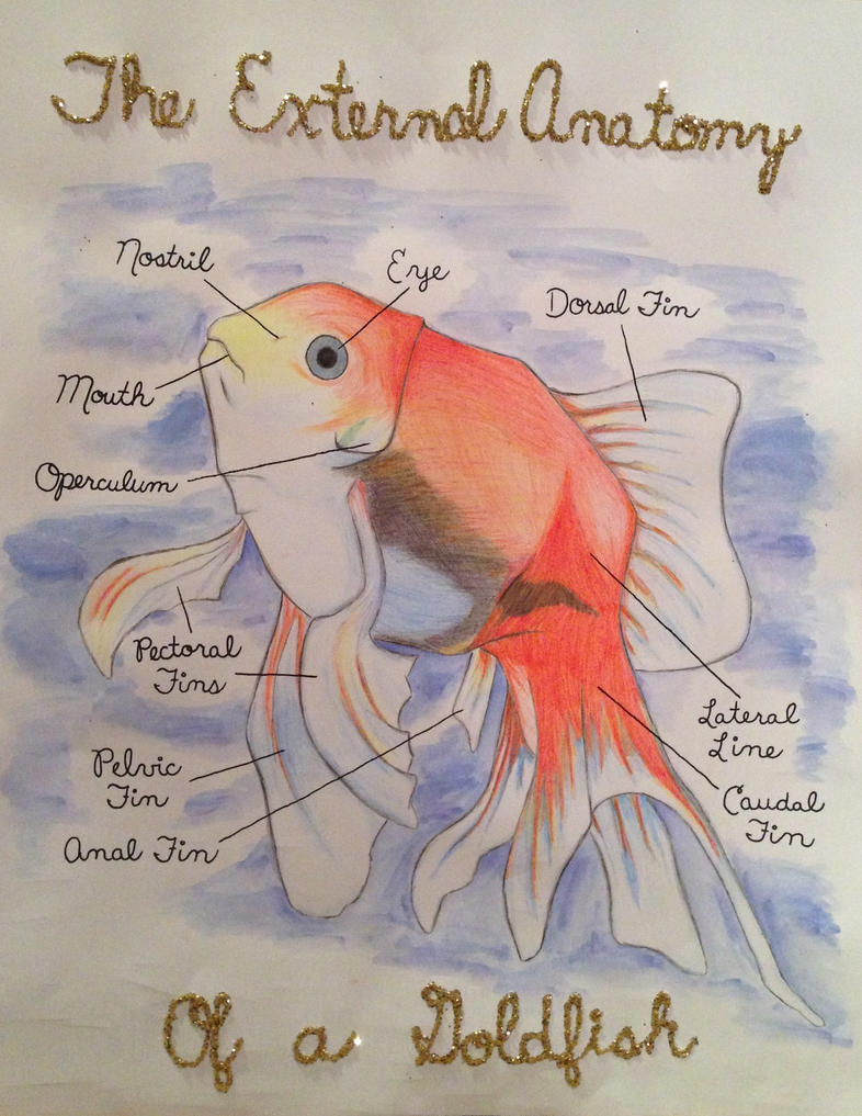 The External Anatomy Of A Goldfish By Maddyline1998 On Deviantart