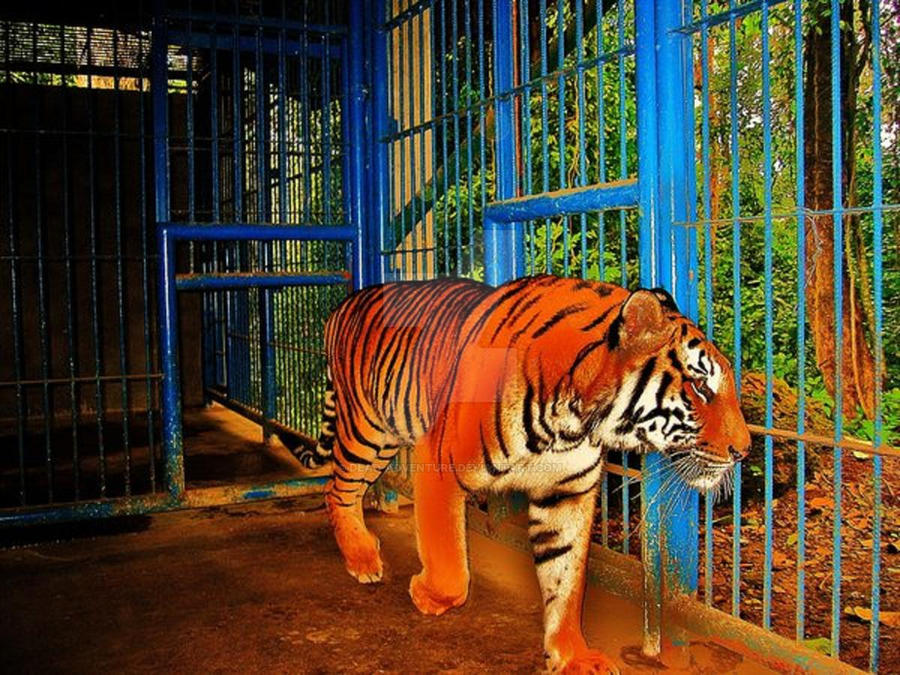 Tiger In A Cage By Dead Adventure On DeviantArt