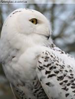 Snowy Owl Profile II by FantasticFennec