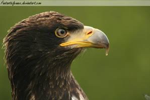 Juvenile Bald Eagle by FantasticFennec