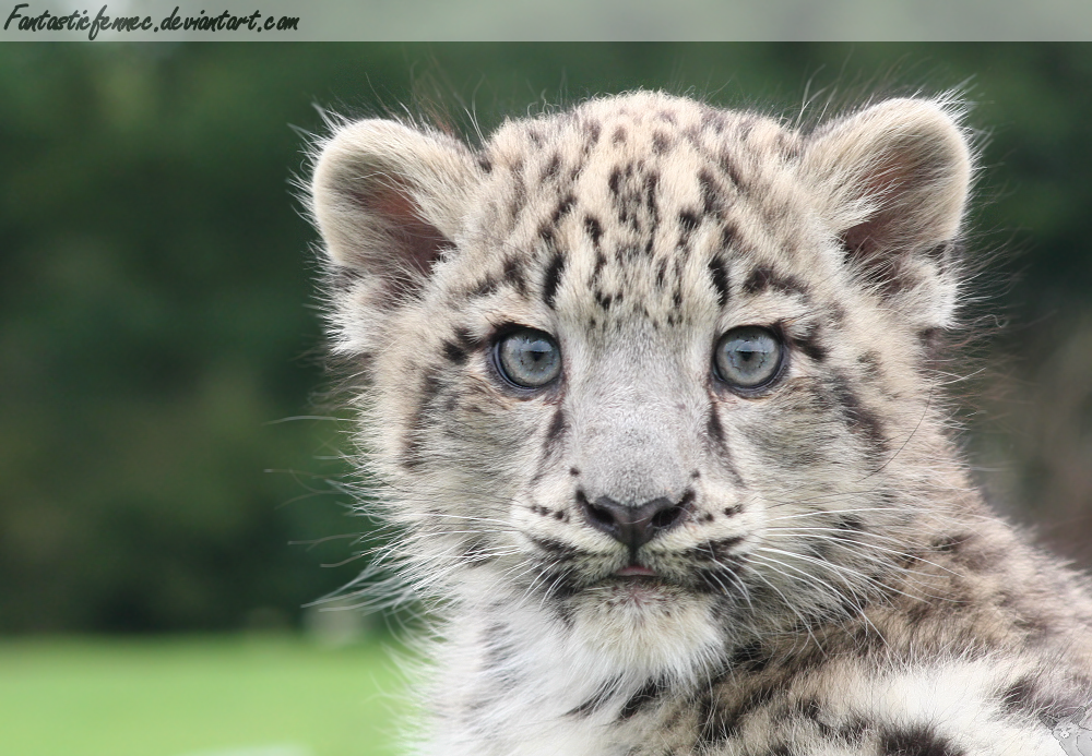 Snow Leopard Cub by FantasticFennec