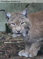Eurasian Lynx by FantasticFennec