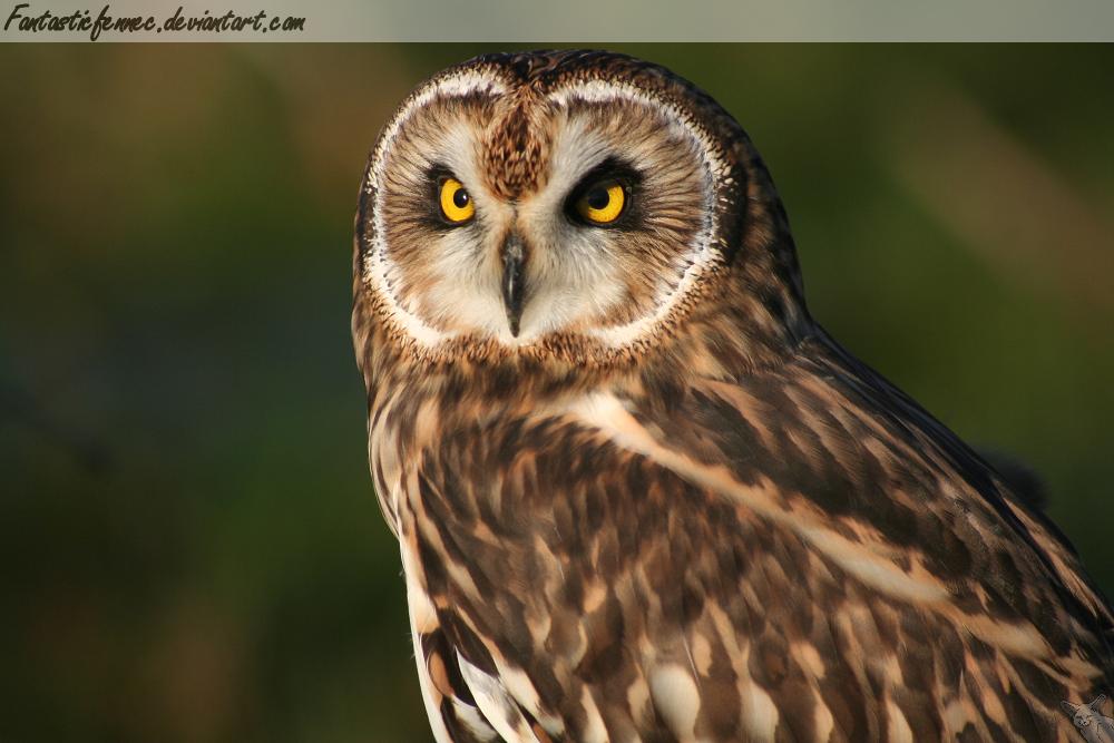 Short Eared Owl by FantasticFennec
