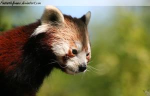 Red Panda by FantasticFennec