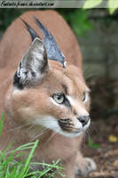 Crouching Caracal by FantasticFennec