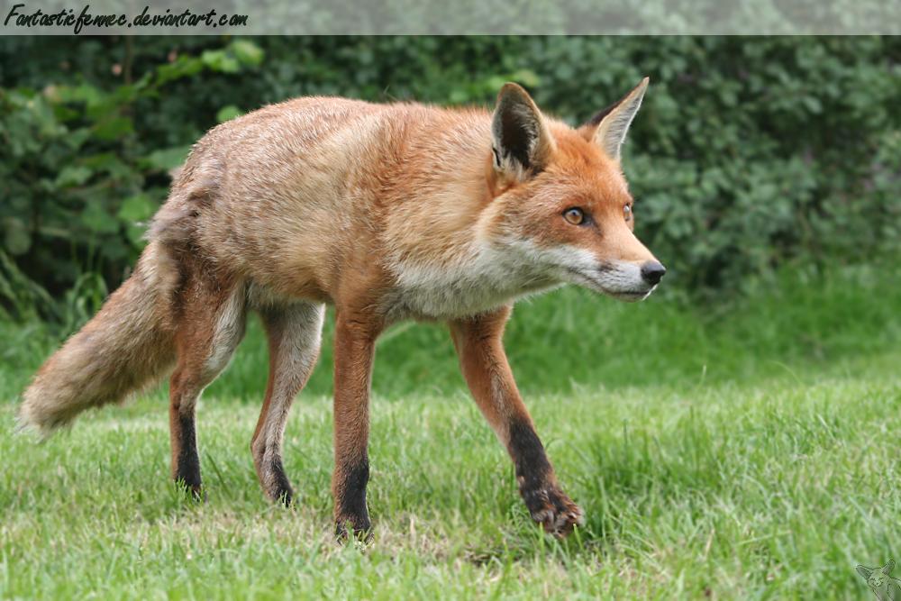 Red Fox II by FantasticFennec