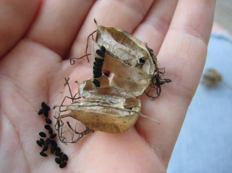 Broken Oriental Poppy Seed Pod