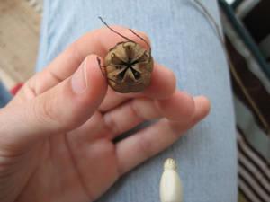 Top of Oriental Poppy Seed Pod