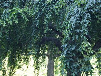 weeping willow by Kogoli