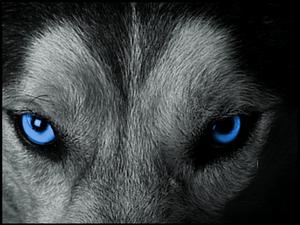New forum avatar - Wolf 2016