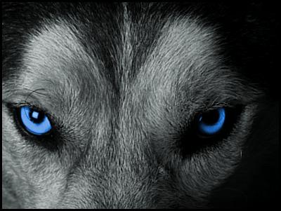 New forum avatar - Wolf 2016 by WenexPL