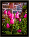 Just Pink Tulips