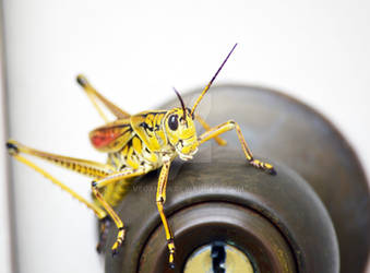 Grasshopper Gatekeeper