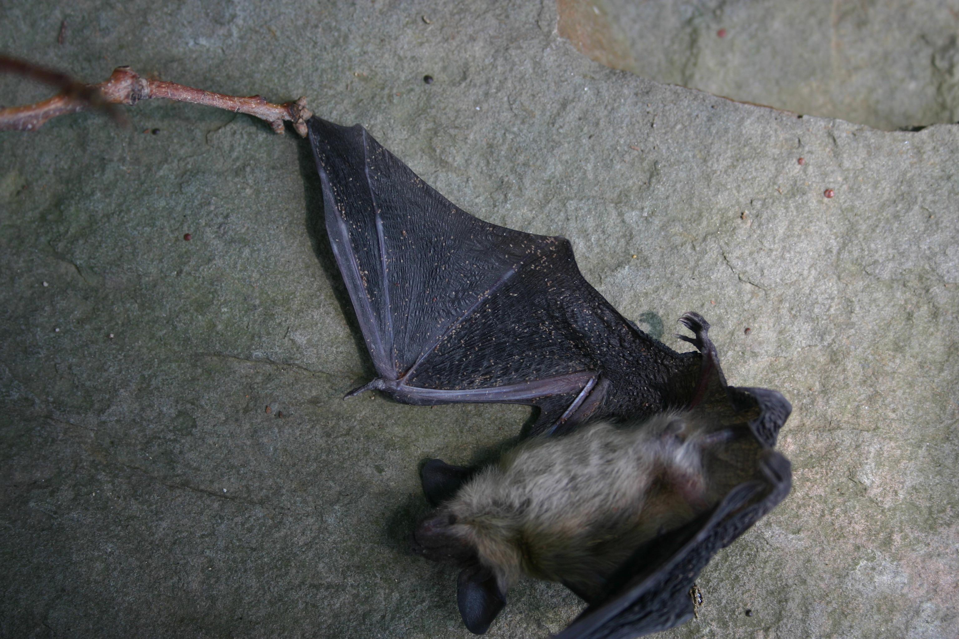 bat wing 001 by Starrystock