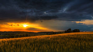 A Barley Field At Sunset