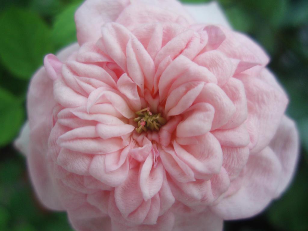 Flower little pink rose wallpaper