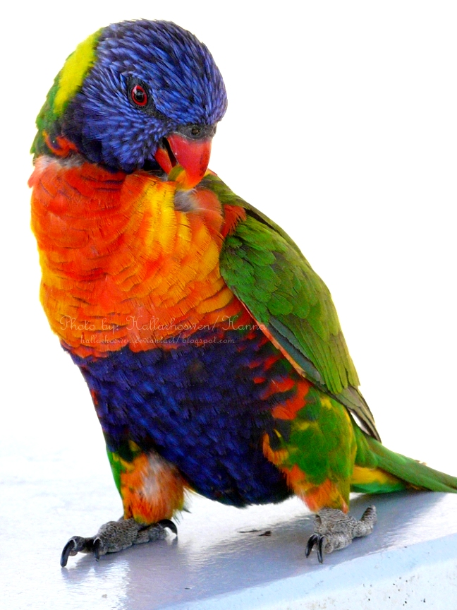 Rainbow Lorikeet Drawing Rainbow lorikeet by