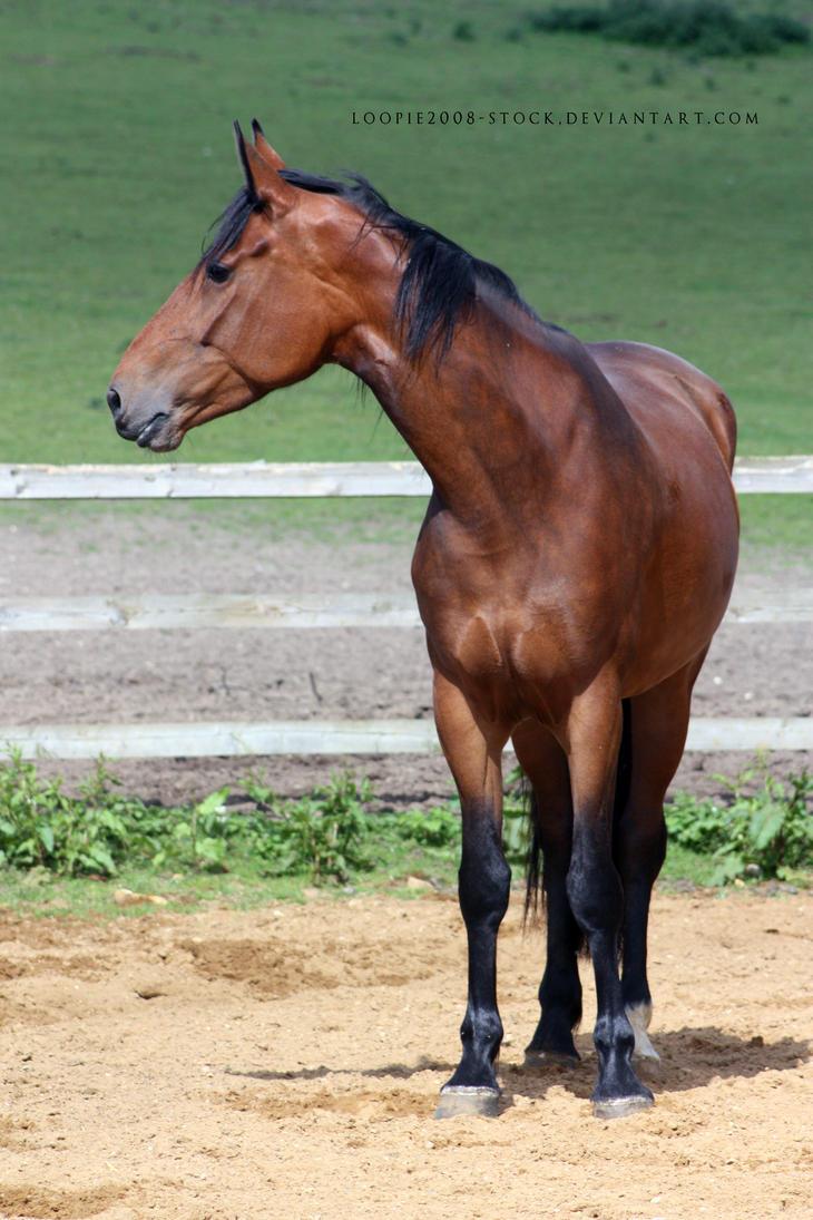 dapple bay mare - stock by s-uperflu0us