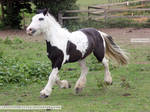 Traditional Gypsy Cob Stock 3