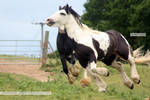 Traditional Gypsy Cob Stock 4