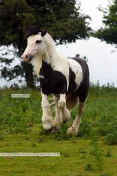 Traditional Gypsy Cob Stock 5
