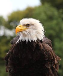 The Bald Eagle - Profile by meystR