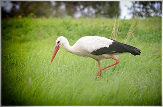 Stork #1