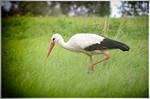 Stork #1 by druteika