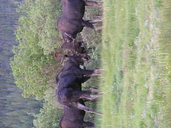 Colorado Moose Fight by RegineSkrydon
