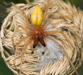 Sow Bug Killer Spider