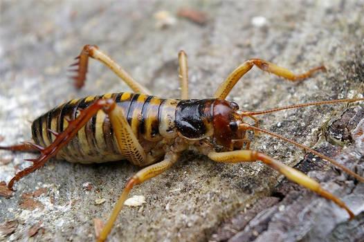 King Cricket - Weta -