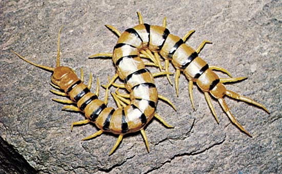 Scolopendra Genus 1 by Annaksunamoon