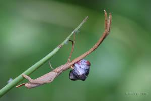 Twig-Like Feather-Legged 02