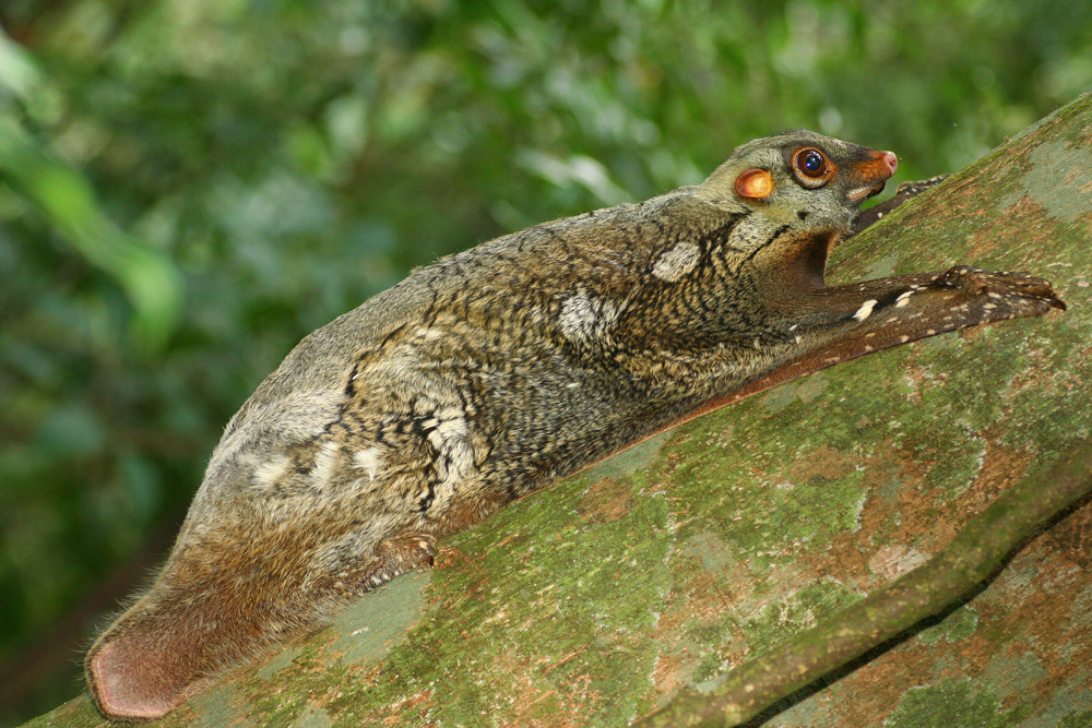 Wild Flying Lemur by melvynyeo