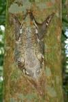 Wild Flying Lemur 2