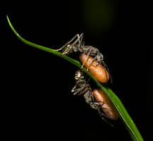 Ants with pupae by melvynyeo