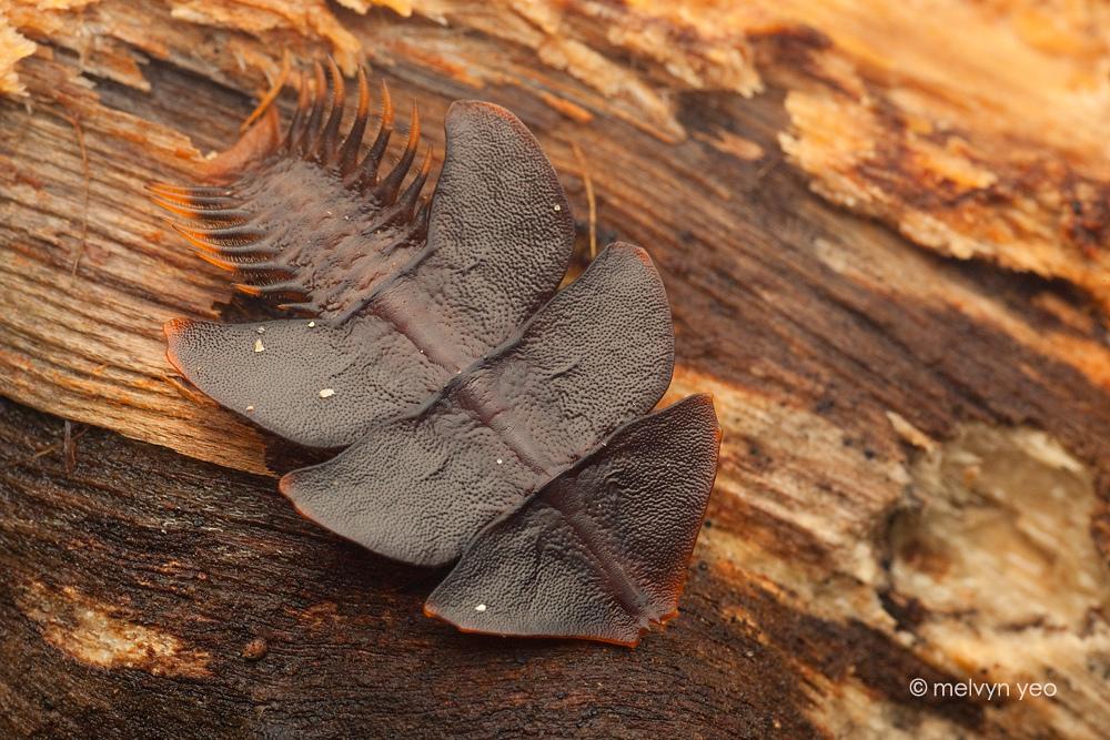 trilobite_02___kubah_by_melvynyeo-d3k8yf