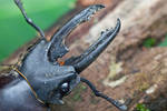 Stag Beetle - Kubah
