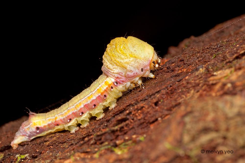 Beautiful Big Head Caterpillar by melvynyeo