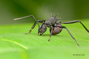Thorny Ant, Polyrhachis sp