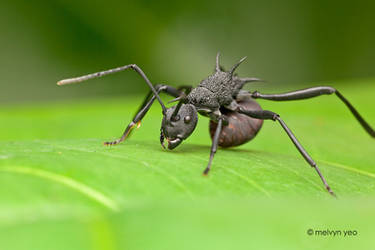 Thorny Ant, Polyrhachis sp by melvynyeo