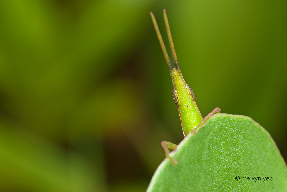 Slant faced grasshopper by melvynyeo