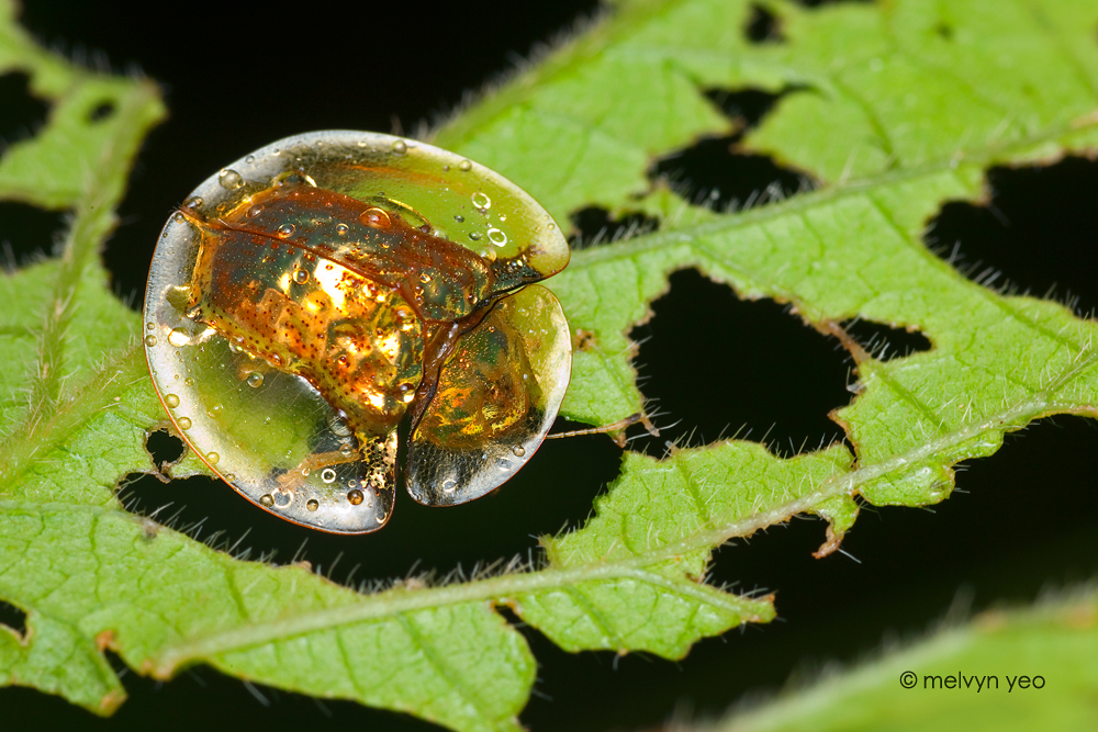 Golden Tortoise Beetle by melvynyeo