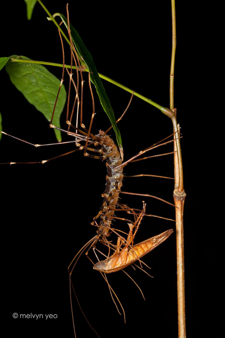 House centipedes by melvynyeo