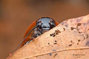Shy Cockroach by melvynyeo