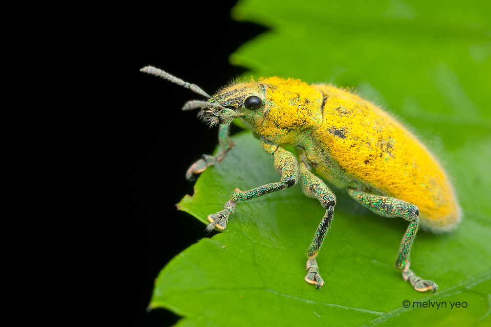Yellow Weevil by melvynyeo
