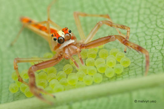 Wide Jaw Viciria guarding her eggs
