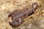 Dwarf Wood Scorpion