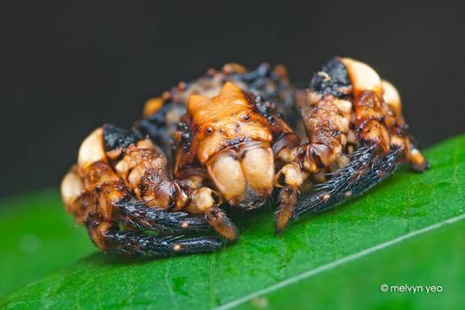Bird-Dung Crab Spider, Phrynarachne sp.
