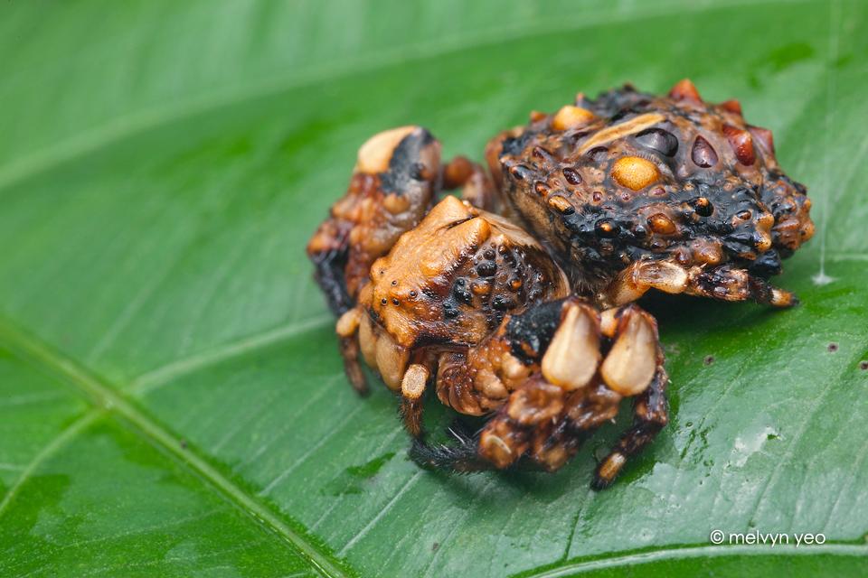 Bird dung crab spider - photo#1